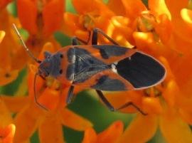 milkweed bug in camo